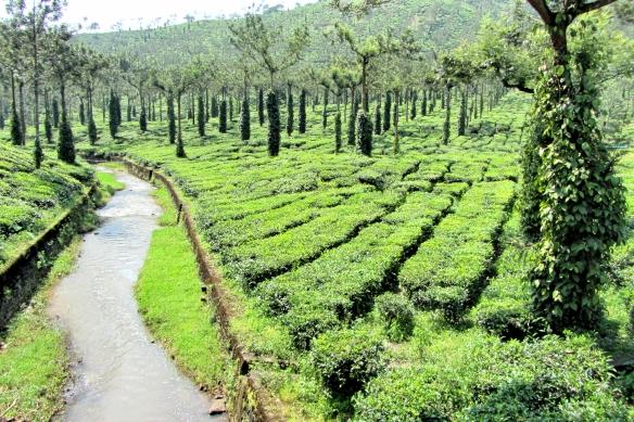 Tea plantation Thekkady