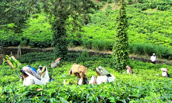 Tea plantation workers Thekkady