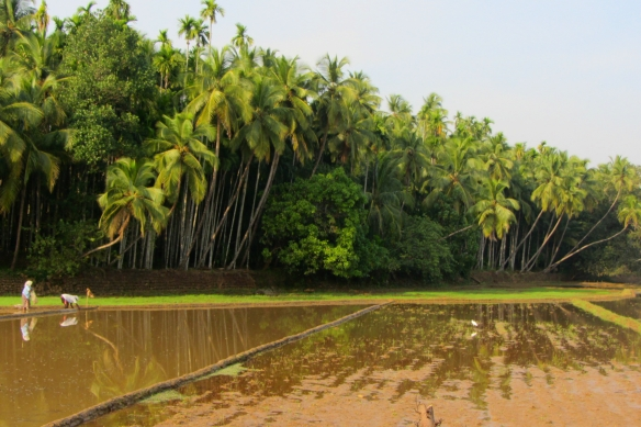 South Goa palmtrees