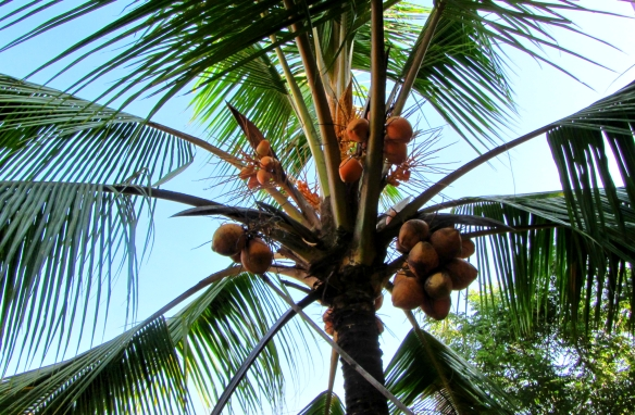 tender coconut karwar india